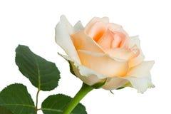 свет предпосылки - розовые розы белые Стоковое Изображение RF