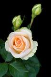 свет предпосылки черный - розовые розы Стоковые Фото