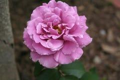Свет - роза пинка с дождевыми каплями на лепестках Стоковое Фото