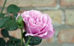 Свет - роза пурпура Стоковая Фотография