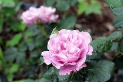 Свет - роза пурпура Стоковое Изображение RF