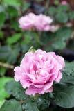 Свет - роза пурпура Стоковые Изображения