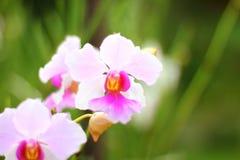 Свет - розовая орхидея cattaleeya Стоковые Фото