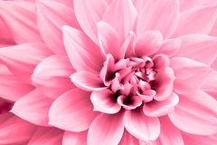 Свет - розовое фото макроса цветка георгина Изображение в цвете подчеркивая свет - розовые цвета и рыжеватые тени Стоковое Фото