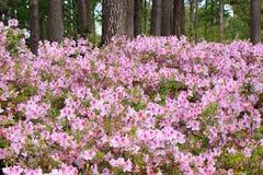 Свет - розовые азалии в парке Стоковые Изображения