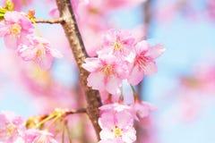 Свет - розовые вишневые цвета Стоковое фото RF