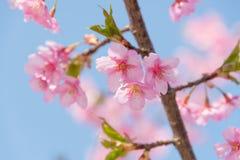 Свет - розовые вишневые цвета Стоковое Изображение RF