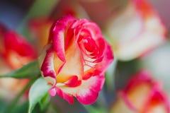 Свет - розовые розы в мягком стиле цвета и нерезкости для предпосылки иллюстрация конструкции карточки предпосылки фона флористич Стоковые Фото