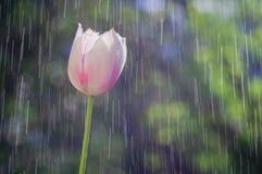 Свет - розовый тюльпан на предпосылке дождя падает следы стоковая фотография rf