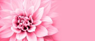 Свет - розовый цветок георгина детализирует рамку границы фото макроса с широкой предпосылкой знамени для сообщения Стоковое Изображение
