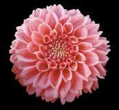 Свет - розовый цветок георгина, черная предпосылка изолированная с путем клиппирования closeup Стоковое Изображение RF