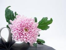 Свет - розовый цветок на белой предпосылке изолированной с путем клиппирования Страница книги сердца closeup большой shaggy цвето Стоковая Фотография