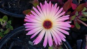 Свет - розовый цветок Стоковое Изображение RF