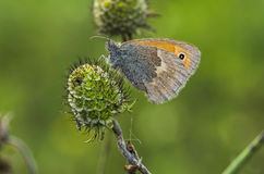 Свет - серая бабочка Стоковое Изображение
