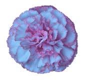 Свет - синь - розовый цветок гвоздики на предпосылке изолированной белизной с путем клиппирования closeup Для конструкции Стоковые Изображения RF