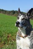 Свет собаки Bardino перекрестный канарца Presa brindle Стоковые Фотографии RF