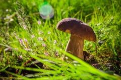 Свет солнца травы леса грибка гриба подосиновика осени Стоковая Фотография