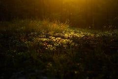 Свет утра на лесе цветет виньетка Стоковое Изображение RF