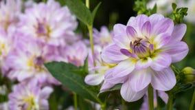 Свет - фиолетовый георгин на фоне других цветков в саде Стоковое Фото
