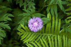свет - фиолетовый цветок пускал ростии между зелеными листьями папоротника и другим цветком стоковое фото rf