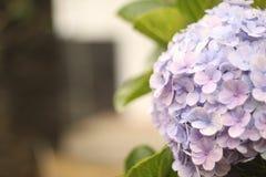 Свет - фиолетовое цветене цветка гортензии на саде Стоковое Фото