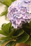 Свет - фиолетовый цветок гортензии с цветенем листьев на саде Стоковое Изображение