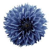 Свет цветка - голубой георгин Предпосылка изолированная белизной с путем клиппирования closeup Отсутствие теней Для конструкции Стоковое Изображение RF