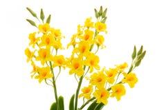 Свет - цветки желтой орхидеи handmade изолированные на белой предпосылке стоковые изображения rf