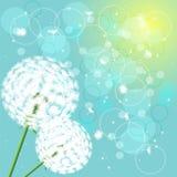свет цветков одуванчиков предпосылки Стоковое Фото