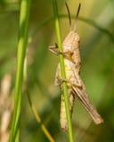 Светлый кузнечик на травинке Стоковое фото RF