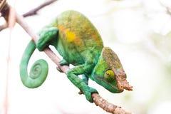 Светлый хамелеон стоковое изображение rf
