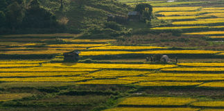Свет Beautyful и цвет поля риса и mountai th в DonDuong- LamDong- Вьетнаме Стоковое Изображение RF