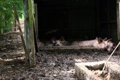 Свинарник в Нормандии Стоковое Изображение