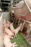 свинарник свиньи младенца Стоковые Изображения