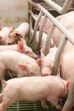 свинарник свиньи младенца Стоковое Фото