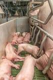 свинарник свиньи младенца Стоковые Изображения RF