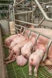 свинарник свиньи младенца Стоковые Фотографии RF