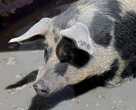 Свинарник 5 Стоковое Фото