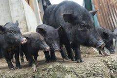5 свиней стоковая фотография rf