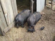 Свиноферма стоковое фото rf