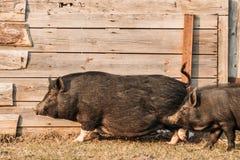 2 свиньи бежать в дворе фермы Сельское хозяйство свиньи поднимает и разводит Стоковая Фотография RF