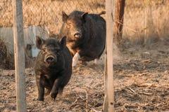 2 свиньи бежать в дворе фермы Сельское хозяйство свиньи поднимает и разводит Стоковое Изображение