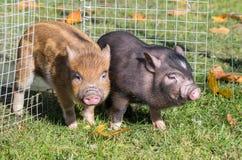 свиньи въетнамские Стоковое Фото