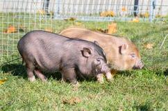 свиньи въетнамские Стоковая Фотография