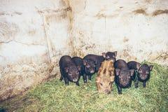 свиньи въетнамские Стоковые Изображения