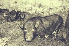 свиньи въетнамские Стоковое Изображение