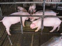 Свиньи в ферме Стоковые Изображения RF