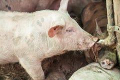 Свиньи в ферме Стоковая Фотография