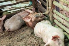 Свиньи в ферме Стоковое Фото