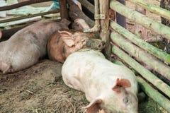 Свиньи в ферме Стоковые Изображения